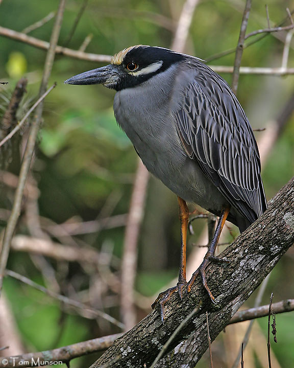 Yellow-crowned-Night-Heron