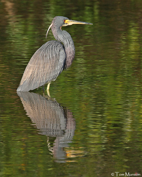 Tircolored Heron