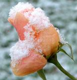 Snow On Rose Bud 03