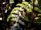 Ferns &  Snow