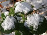 Snow On Brambles