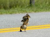 Why did the duckling cross the road?