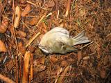 Dead bird - Trail up to Middle Tiger