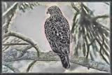 #5 - Hawk-Charcoal