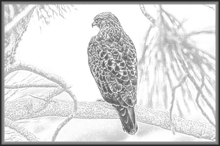 #1 - Red-tail-Hawk-sketch