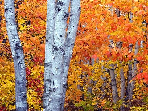 Arrowhead Birches1