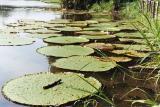 Lírios Gigantes da Água, Amazonas