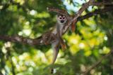 Macaco, Ariau