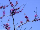 Texas Redbud Tree with Butterfly