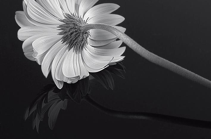 Gerbera Reflection <br> black & white version