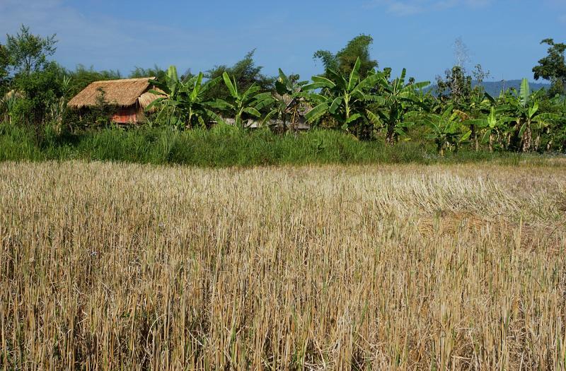 Rice field in December, Laos
