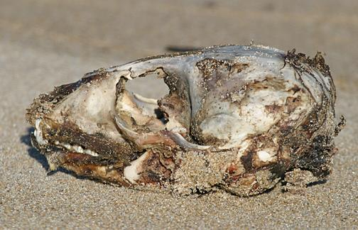 Seals scull washed up on beach