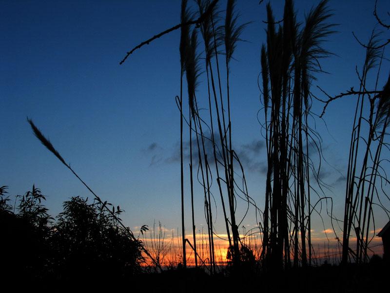 Pampas Grass at Sunset