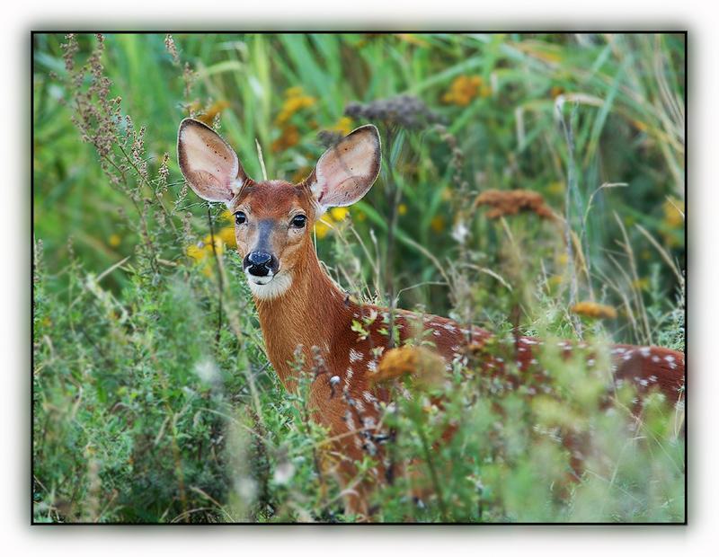 Bambi ...