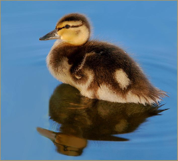 Baby Duck ...