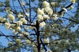 ornamental plum blossoms 2