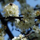 ornamental plum blossoms 2 detail