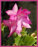 Christmas Cactus Flower 2003