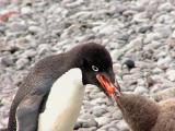 Adelie penguin feeding chick krill