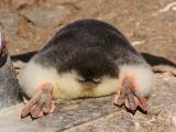 Gentoo penguin chick from the rear