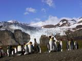 King penguin colony and glacier