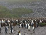 King penguin colony for as far as you could see