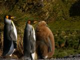 King penguin pair with chick