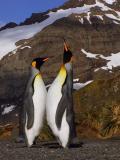 King penguins greeting