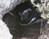 Magellanic penguin in nest burrow