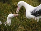 Wandering albatross pair greeting