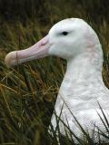 Wandering albatross portrait