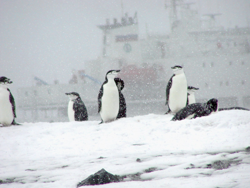 Chinstrap penguin and the Mikheev