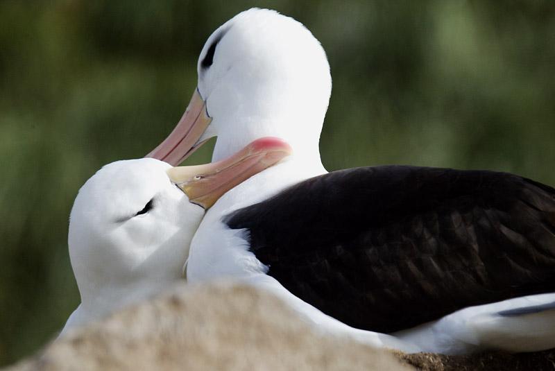 Black-browed albatross pair