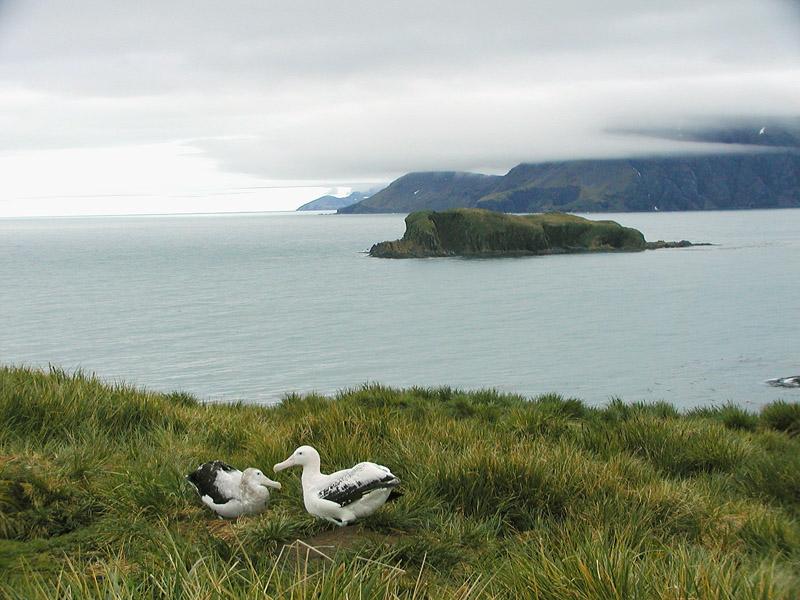Wandering albatross pair at nest
