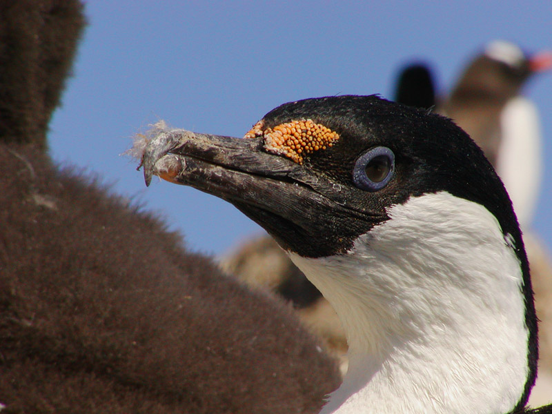 Antarctic shag profile