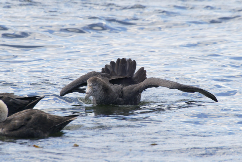 Southern Giant petrel threat display