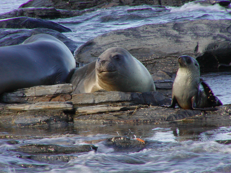 Elephant seal and fur seal - big size difference