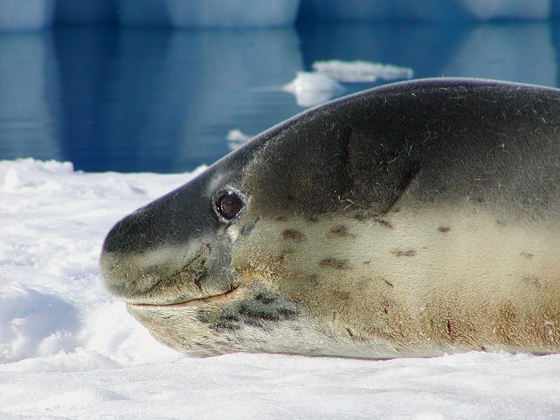 Leopard seal smile