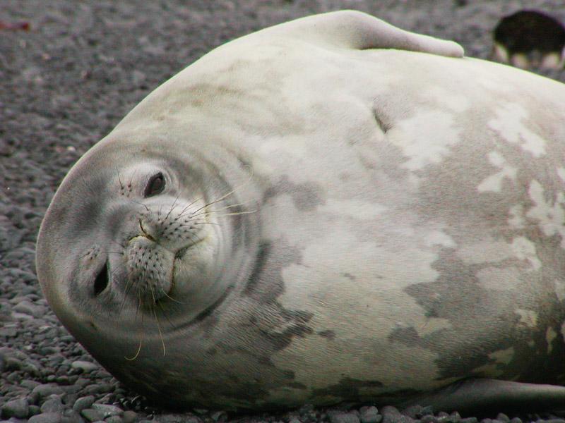 Weddell seal awake