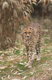 Cheetah at Grassmere...