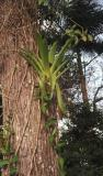 Backyard Bromeliads