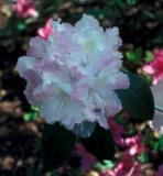 'Epoch' x mucronulatum