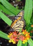 Monarch-Folded-wb.jpg