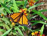 Monarch1-wb.jpg