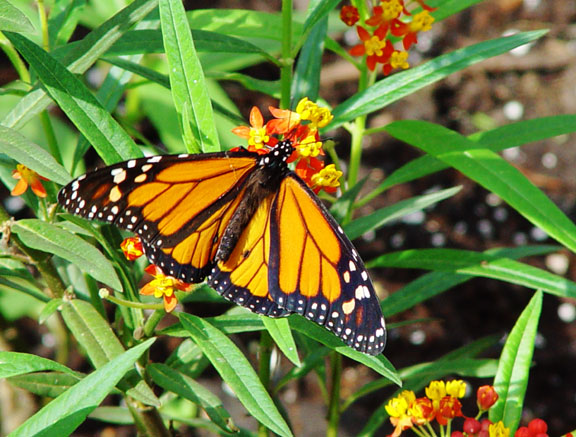 Monarch1-wb.jpg