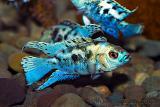 Nandopsis octofasciatum Blue (Blue Jack Dempsey)