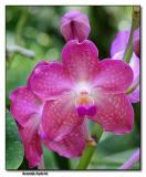 Orchid 24. Aranda hybrid