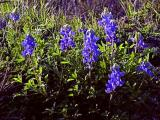Early Bluebonnets