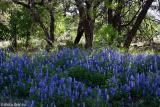 Tall Bluebonnets - Lower Willow  City Loop 2003