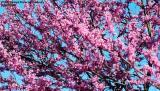 Flowering tree at Nashville #3898